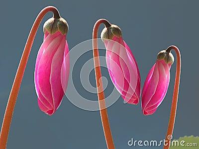 Pink cyclamen buds