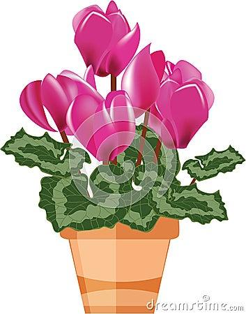 Pink cyclamen in a flower pot