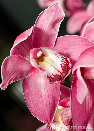 Pink Cymbidium or orchid flower bud