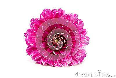Pink Dahlia flower in closeup
