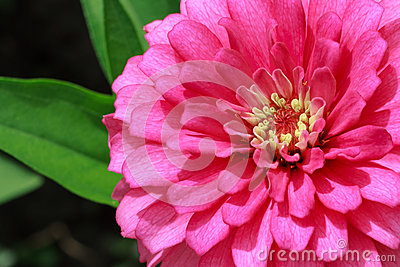 Pink Dahlia Flower Closeup in Sunlight