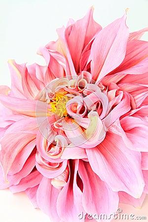 Pink dahlia flower  on white