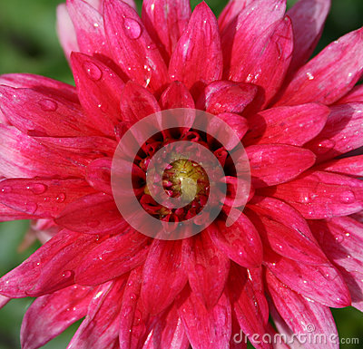 Pink dahlia after rain