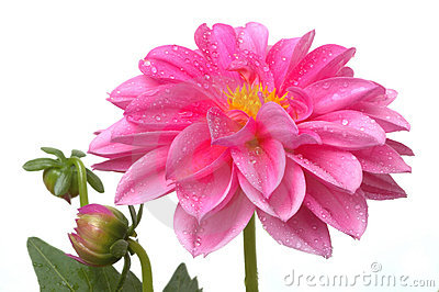 Pink Dahlia with Water Drops