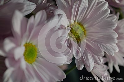 Pink Daisies close up