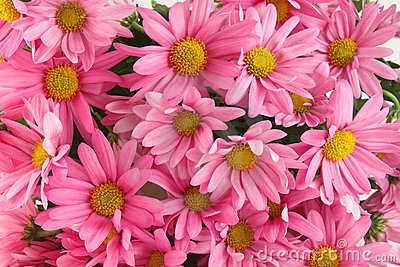 Pink daisy background