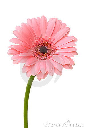 Free Pink Daisy Flower Royalty Free Stock Photography - 12666017