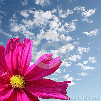 Free Pink Daisy Flower Stock Images - 28846064