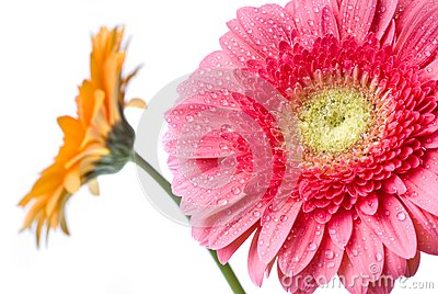 Pink daisy-gerbera with water drops