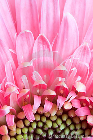 Free Pink Daisy Petails Stock Photo - 1672920