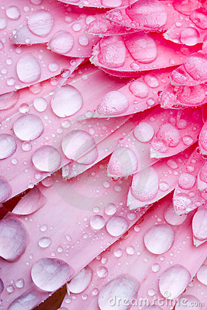 Free Pink Daisy Petails Stock Photography - 1672952