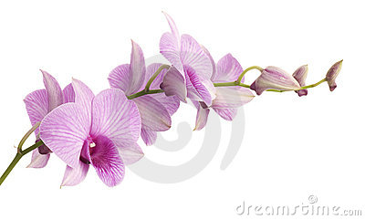 Pink dendrobium orchid isolated on white