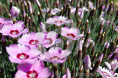 Dianthus Blooming