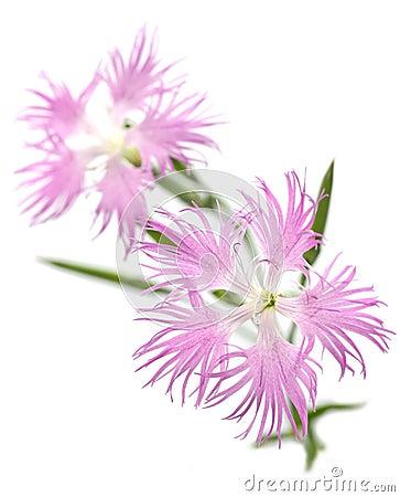 Pink , dianthus superbus , nadeshiko