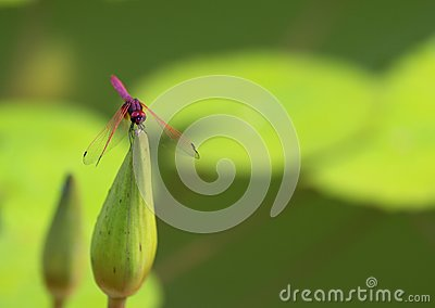 Pink Dragonfly Balance