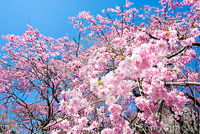 Pink drooping cherry blossoms