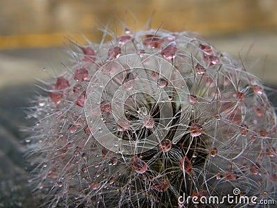 Pink droplets at dandelion