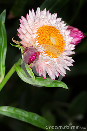 Pink English daisy (Bellis perennis)