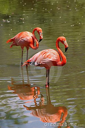 Free Pink Flamingo Birds Stock Image - 2599951