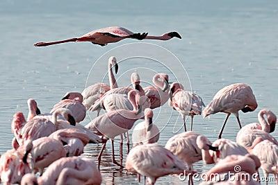 Pink flamingo flies over the water