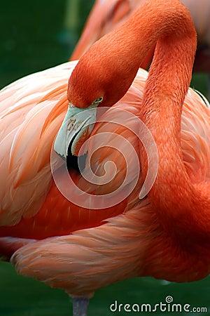 Pink flamingo grooming herself