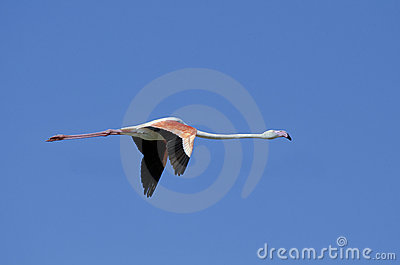 Pink flamingo (Phoenicopterus roseus) flying