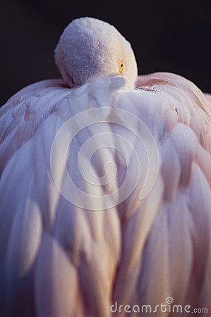 Free Pink Flamingo Resting Royalty Free Stock Image - 28484516