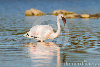Pink Flamingo standing in the water