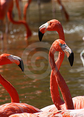 Free Pink Flamingo Trio Stock Photography - 13109122