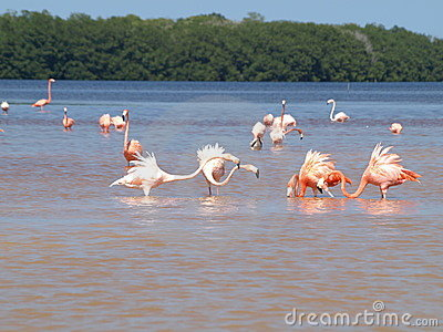 Pink Flamingoes in Celestun Mexico
