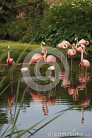 Free Pink Flamingos Stock Photos - 970143