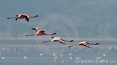 Pink flamingos flies over the water