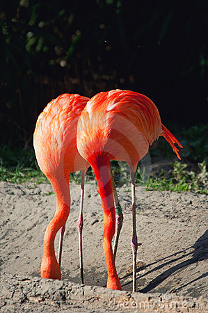 Pink flamingos hiding their heads. like ostrich