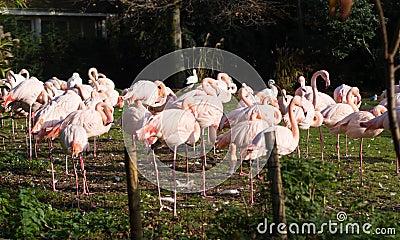 Pink flamingos at Rotterdam Zoo