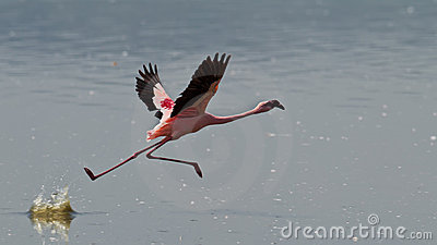 Pink flamingos run on the water