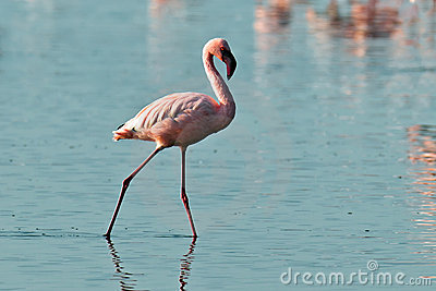 Pink flamingos walks on water
