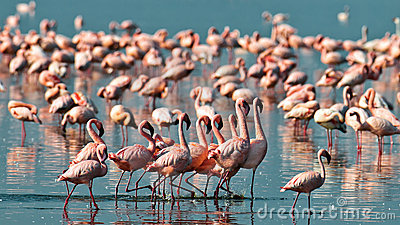 Pink flamingos walks on the water