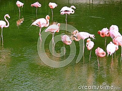 Pink flamingos on water