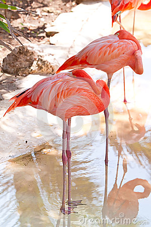 Pink flamingos in wildlife park