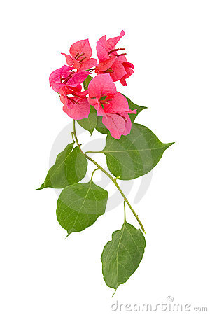 Free Pink Flower Royalty Free Stock Images - 4479519