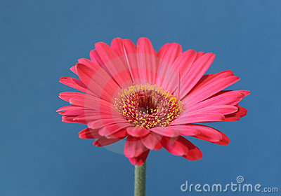 Pink flower on blue