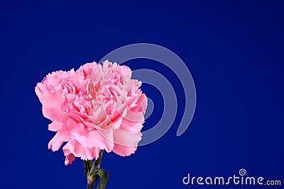 Pink flower Dianthus