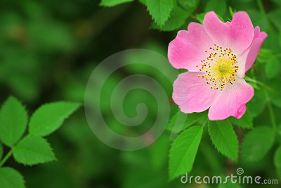 Pink flower of a dogrose