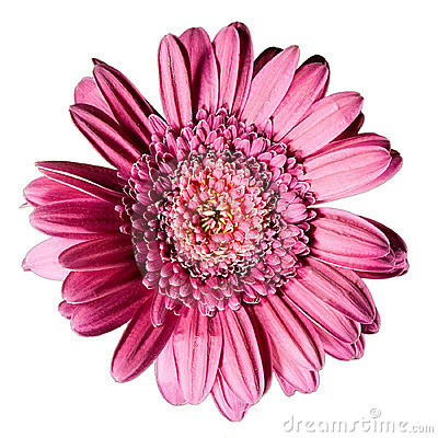 Pink flower gerbera