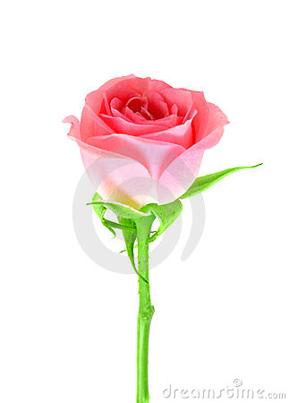 Pink flower of rose on a green stalk