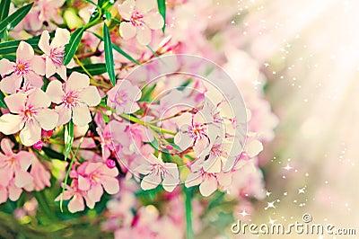 Pink flower s branch - Oleander Nerium
