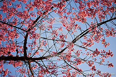 Pink flower(sakura)