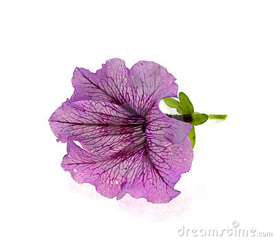 Pink flower with violet veins