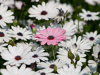Pink flower among white