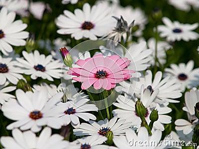 Pink flower among white